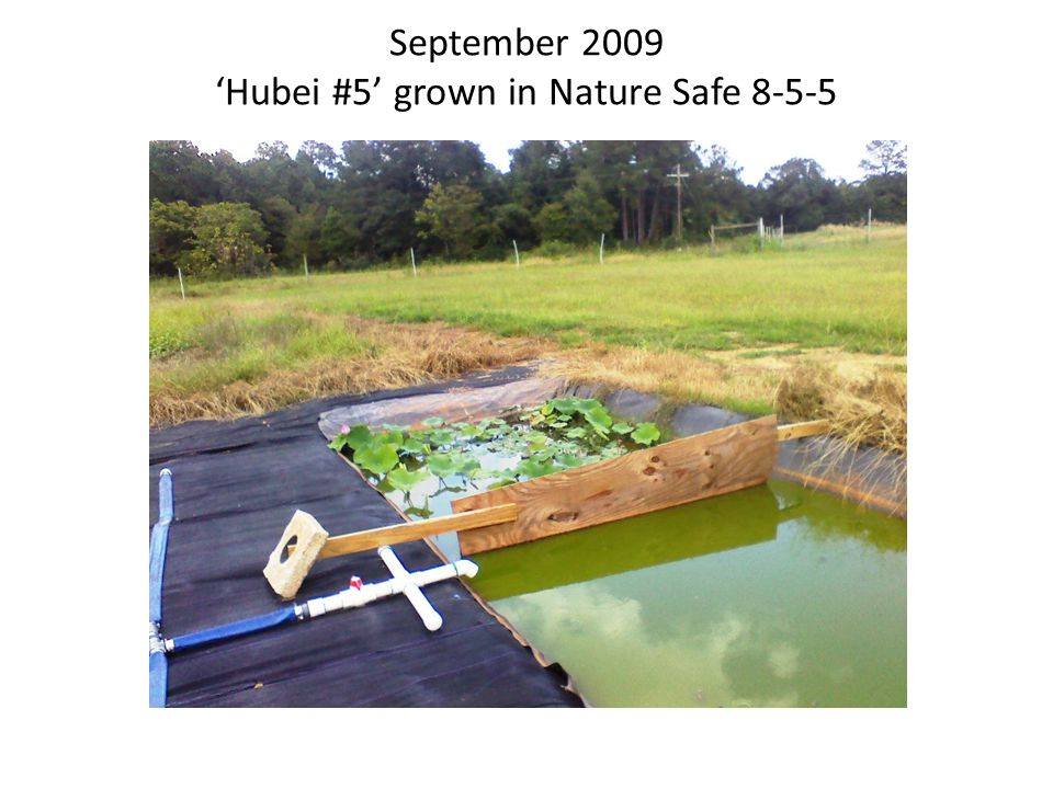 Slow-release Conventional 16-8-12 Fertilizer 'Space 36' has taken over the whole pond in spite of the dividers