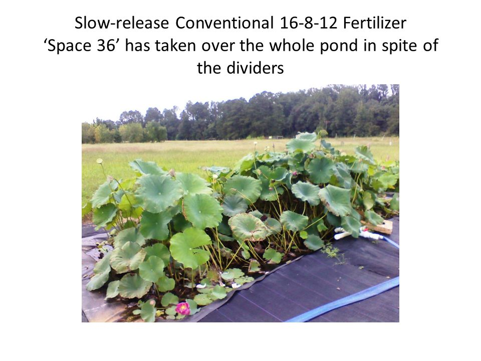 Grown in AgriRecycle Pelletized Chicken Litter 4-2-3 'Space 36' has taken over the whole pond in spite of the dividers