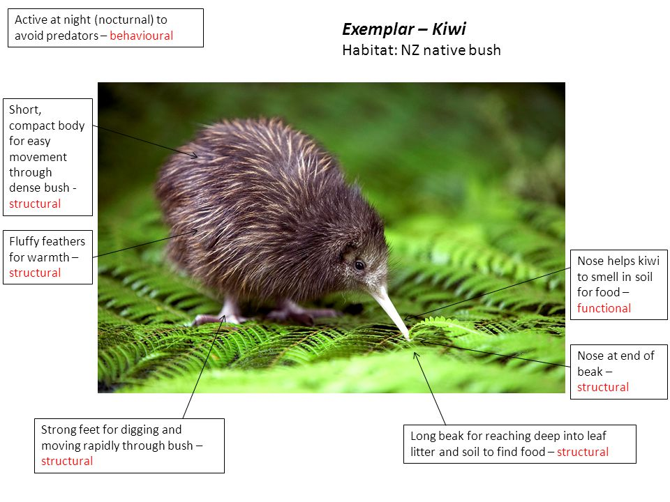 Long beak for reaching deep into leaf litter and soil to find food – structural Strong feet for digging and moving rapidly through bush – structural Active at night (nocturnal) to avoid predators – behavioural Short, compact body for easy movement through dense bush - structural Fluffy feathers for warmth – structural Nose at end of beak – structural Nose helps kiwi to smell in soil for food – functional Exemplar – Kiwi Habitat: NZ native bush