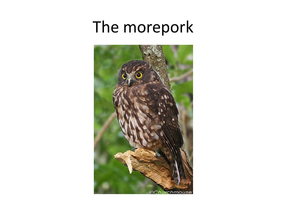 The morepork