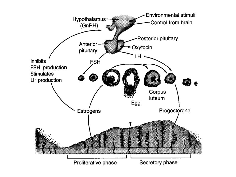Terms….terms….terms Estrous cycles: a) polyestrous b) monestrous c) menstrual cycle Fertilization Delayed fertilization Delayed implantation Delayed implantation ovulation