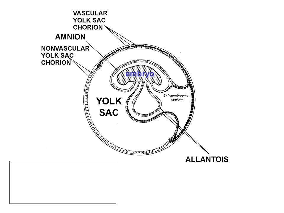 YOLK SAC embryo
