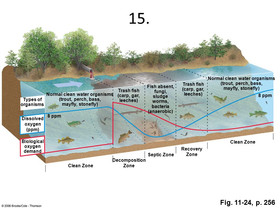 15. Clean Zone Decomposition Zone Septic Zone Recovery Zone Clean Zone Normal clean water organisms (trout, perch, bass, mayfly, stonefly) Trash fish