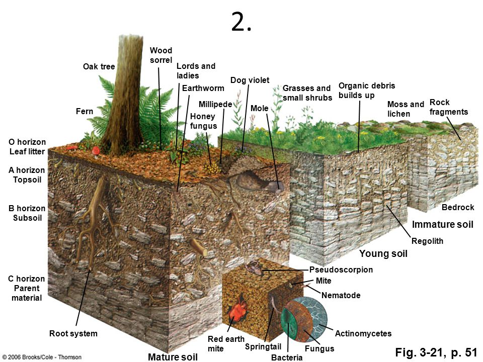 2. Oak tree Wood sorrel Lords and ladies Earthworm Dog violet Mole Millipede Honey fungus Organic debris builds up Moss and lichen Rock fragments Bedr