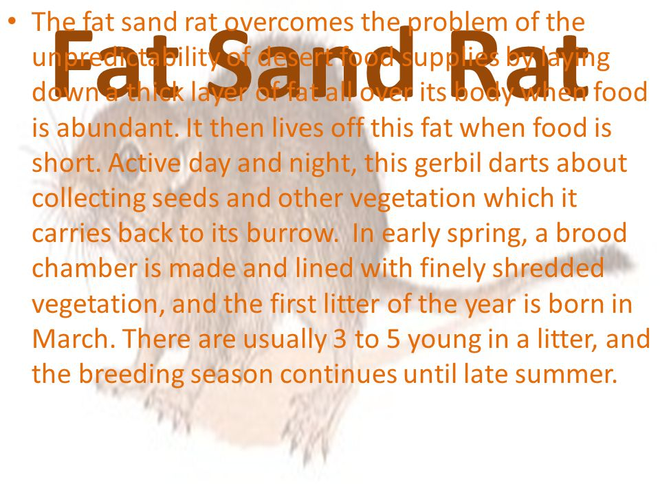 Fat Sand Rat The fat sand rat overcomes the problem of the unpredictability of desert food supplies by laying down a thick layer of fat all over its body when food is abundant.