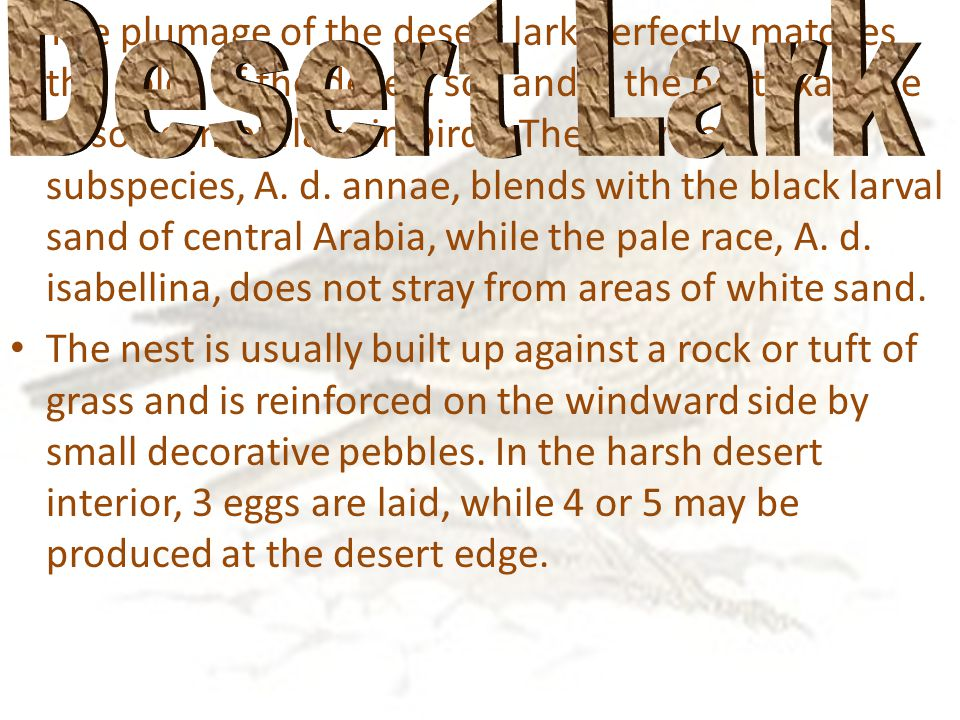 The plumage of the desert lark perfectly matches the color of the desert soil and is the best example of soil camouflage in birds.
