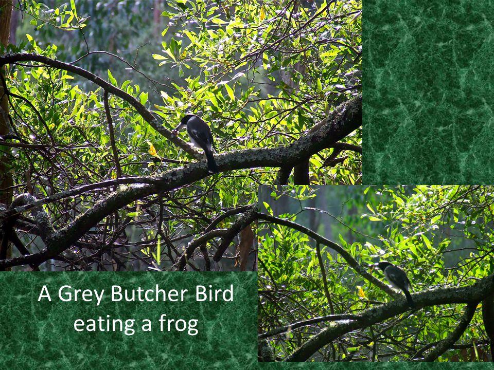 A Grey Butcher Bird eating a frog