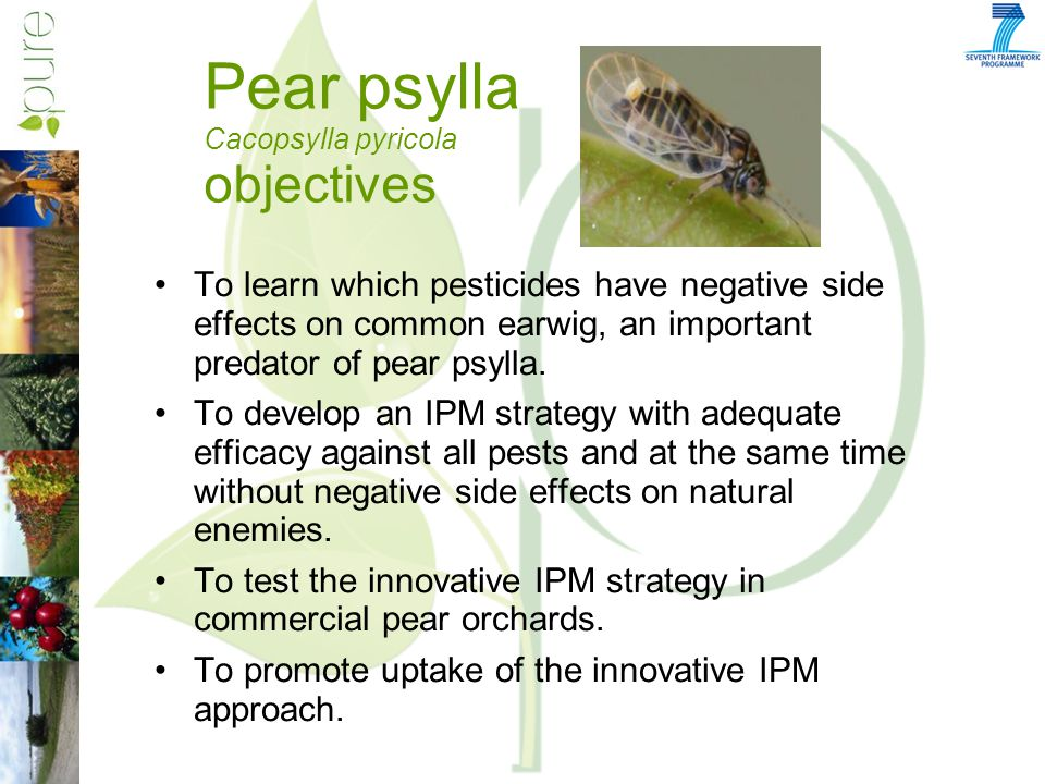 Pear psylla Cacopsylla pyricola objectives To learn which pesticides have negative side effects on common earwig, an important predator of pear psylla.