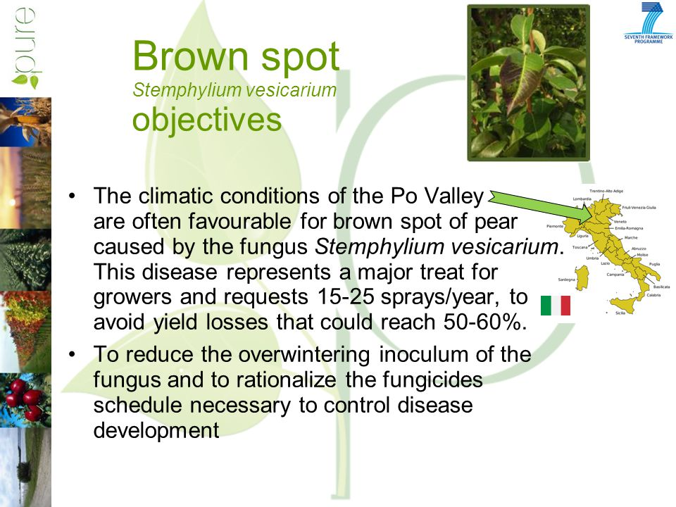 Brown spot Stemphylium vesicarium objectives The climatic conditions of the Po Valley are often favourable for brown spot of pear caused by the fungus Stemphylium vesicarium.