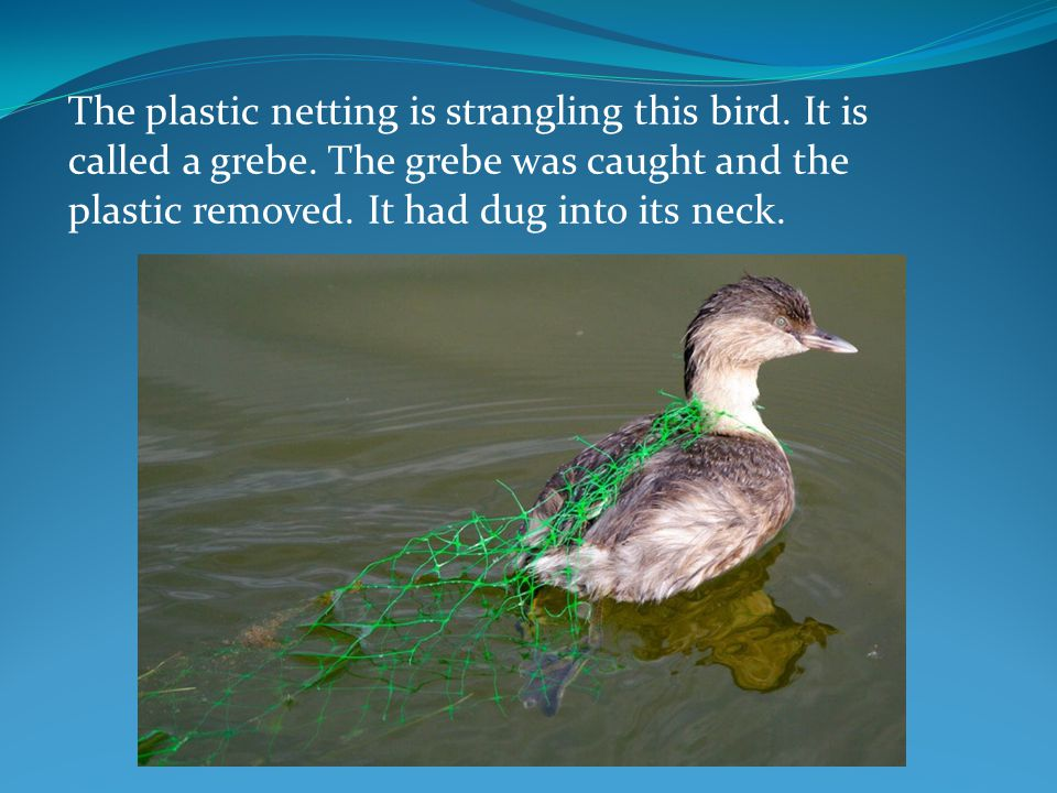 The plastic netting is strangling this bird. It is called a grebe. The grebe was caught and the plastic removed. It had dug into its neck.