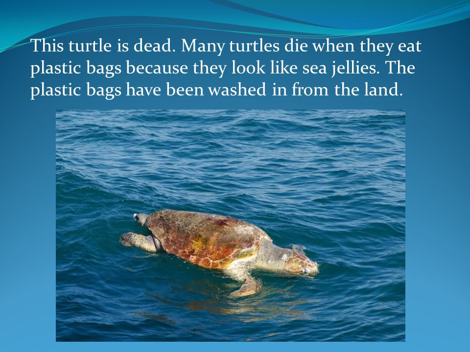 This turtle is dead. Many turtles die when they eat plastic bags because they look like sea jellies. The plastic bags have been washed in from the lan