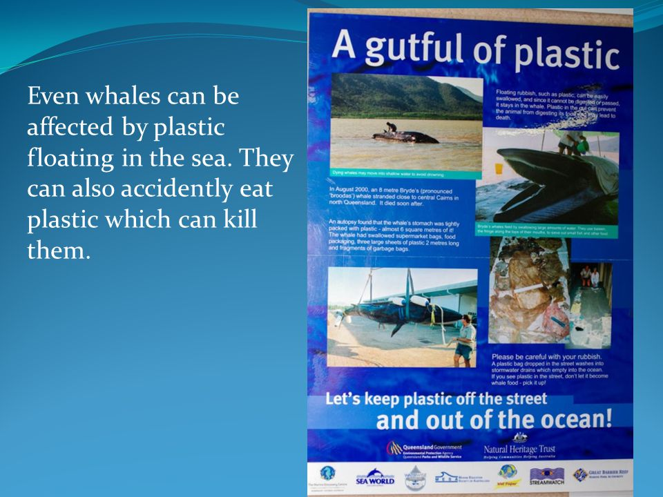 Even whales can be affected by plastic floating in the sea. They can also accidently eat plastic which can kill them.