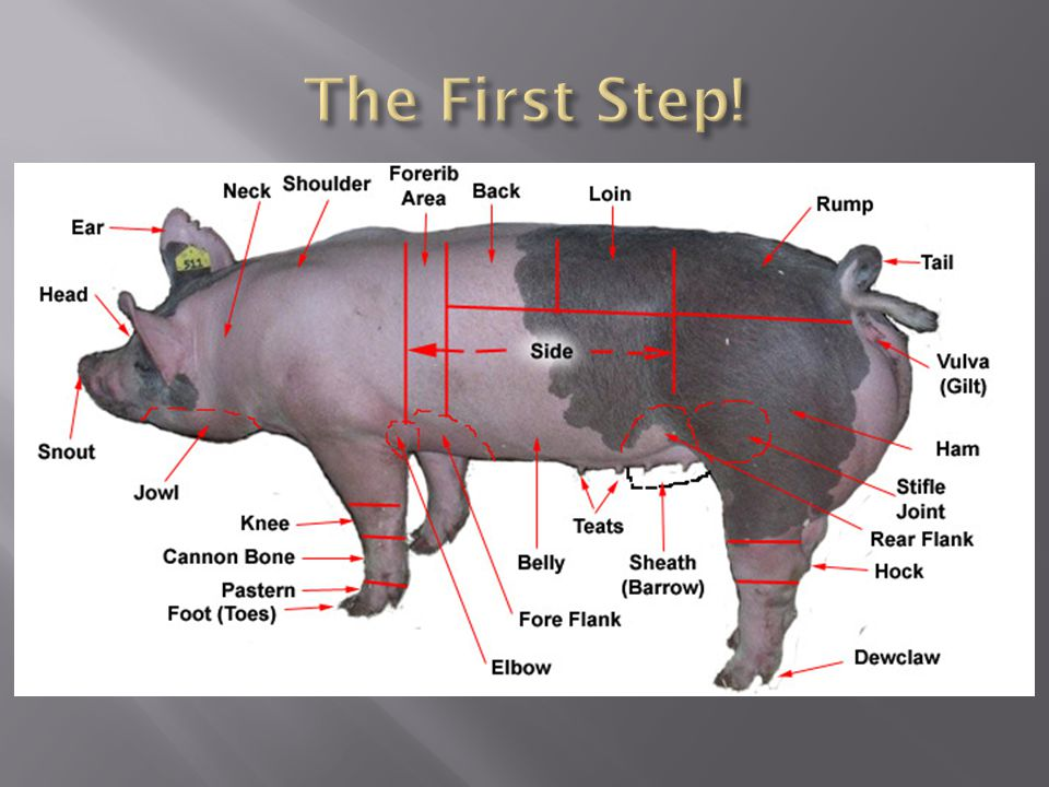  The hogs left ear is used for notches to show individual pig number in the litter.