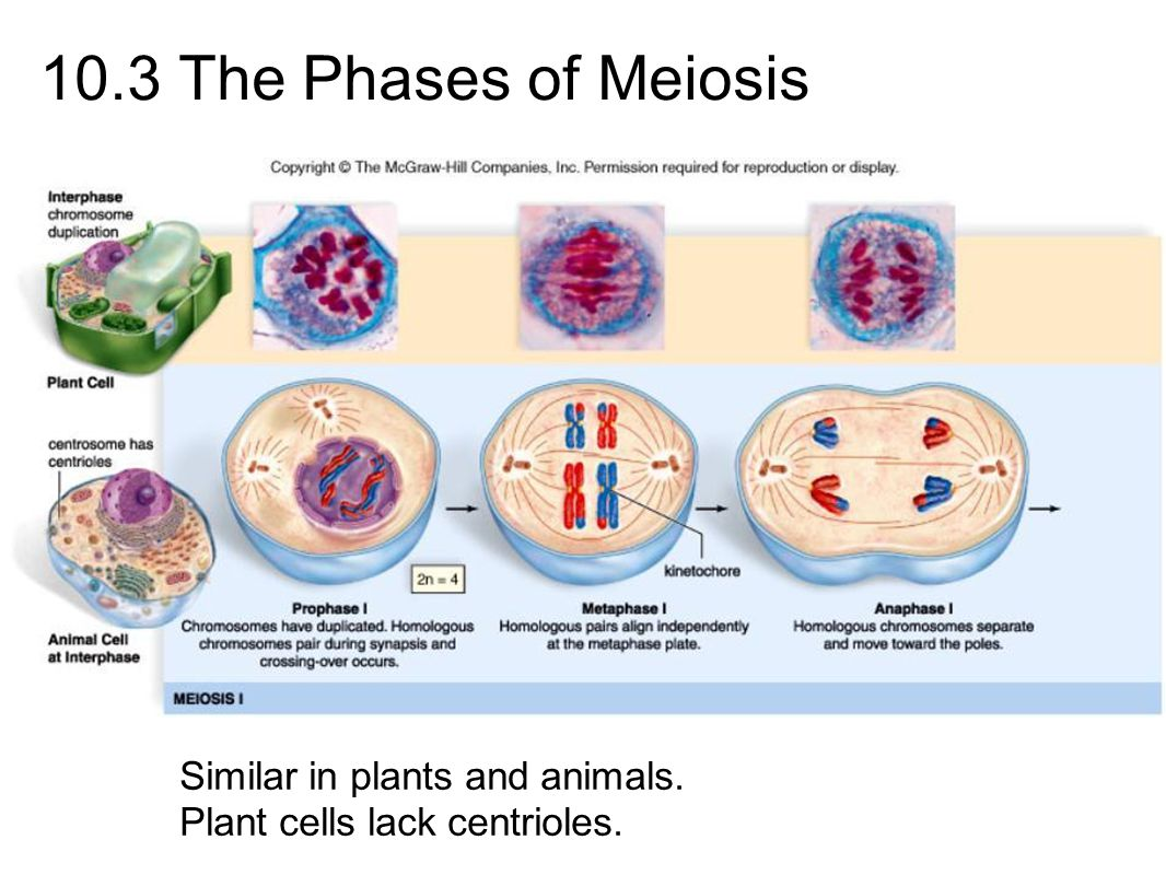 10.3 The Phases of Meiosis Similar in plants and animals. Plant cells lack centrioles.