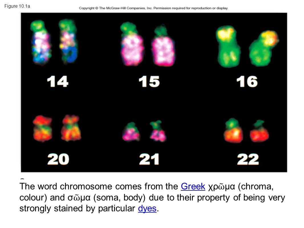 Figure 10.1a The word chromosome comes from the Greek χρ ῶ μα (chroma, colour) and σ ῶ μα (soma, body) due to their property of being very strongly stained by particular dyes.Greekdyes
