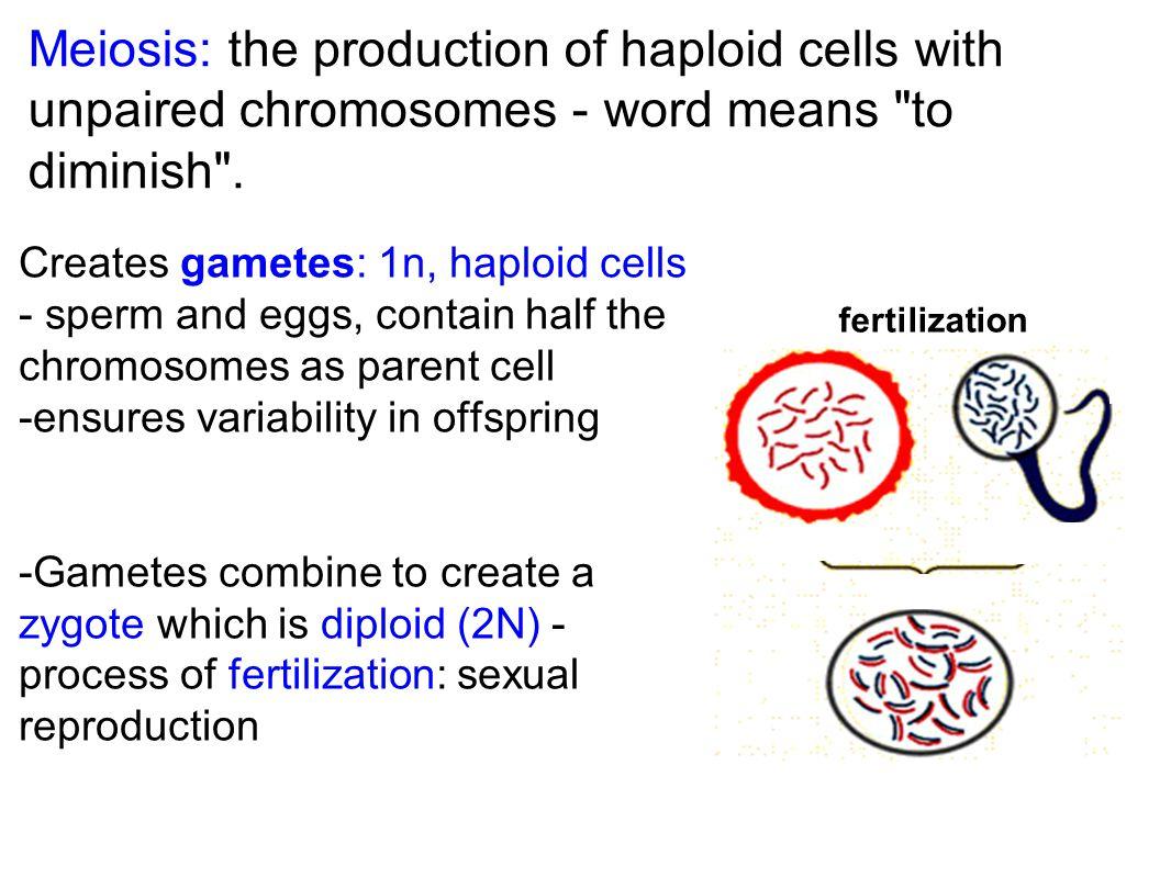 Haploid vs Diploid Life Cycles
