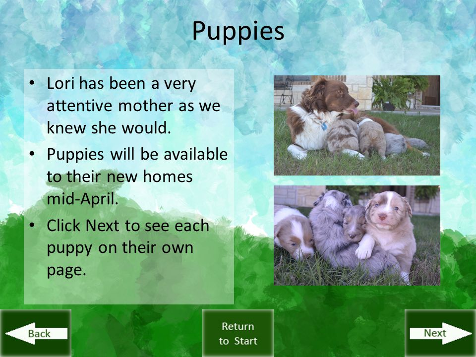 Puppies Lori has been a very attentive mother as we knew she would. Puppies will be available to their new homes mid-April. Click Next to see each pup