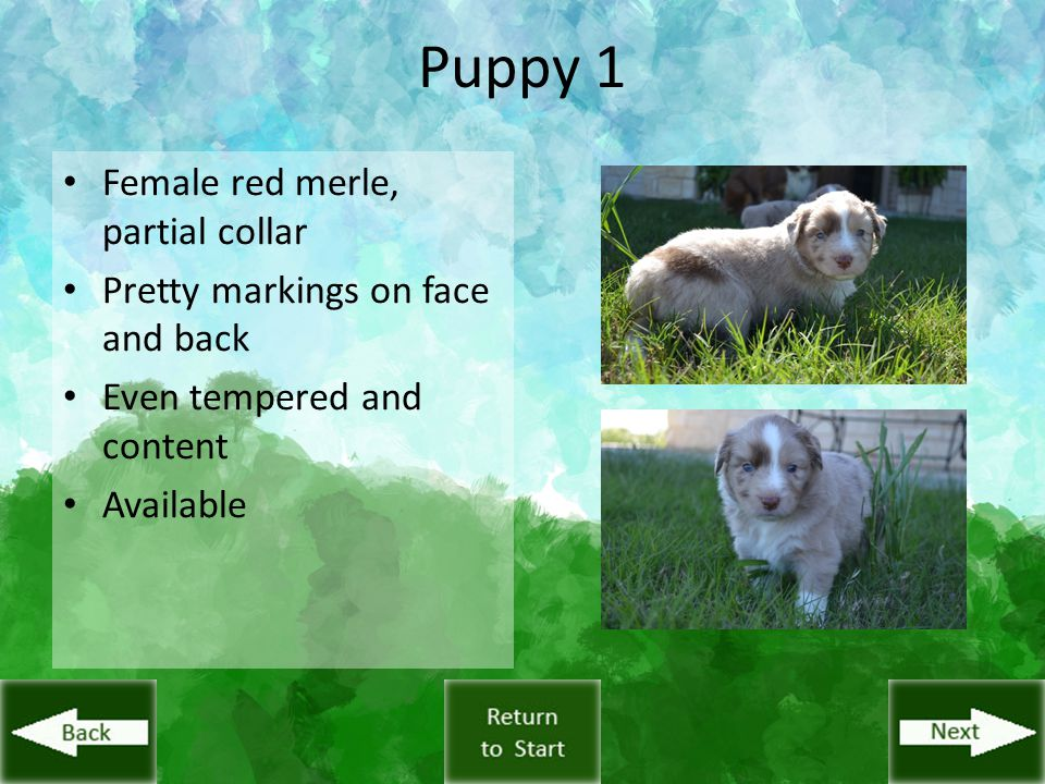 Puppy 1 Female red merle, partial collar Pretty markings on face and back Even tempered and content Available