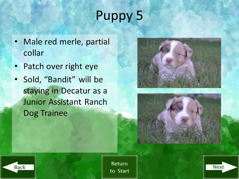 "Puppy 5 Male red merle, partial collar Patch over right eye Sold, ""Bandit"" will be staying in Decatur as a Junior Assistant Ranch Dog Trainee"