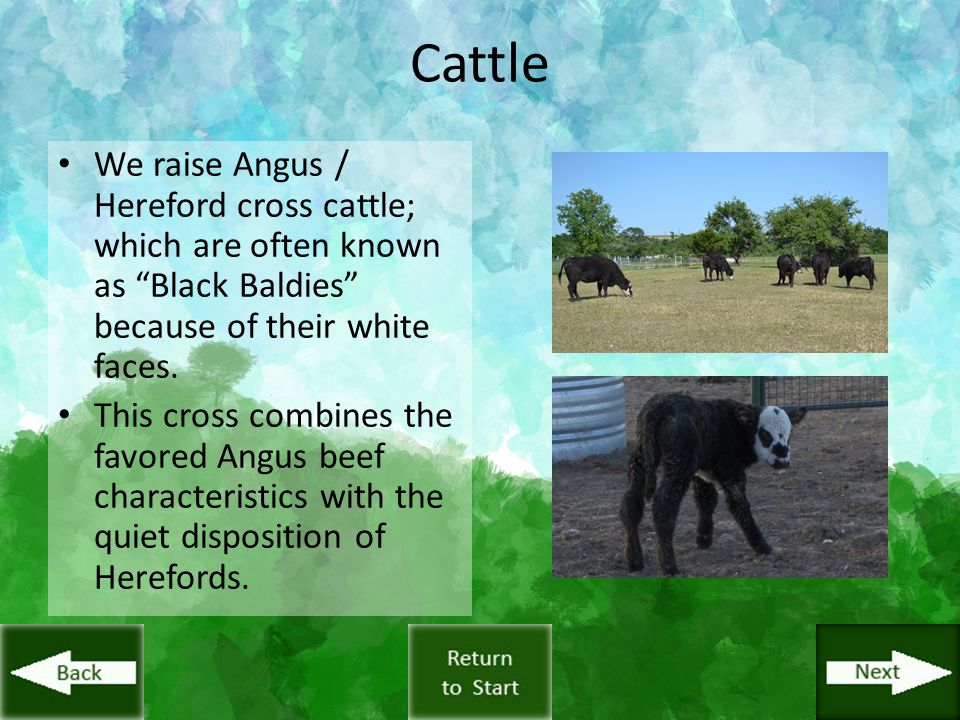 "Cattle We raise Angus / Hereford cross cattle; which are often known as ""Black Baldies"" because of their white faces. This cross combines the favored"