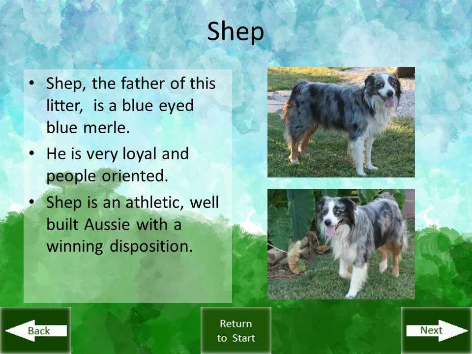 Shep Shep, the father of this litter, is a blue eyed blue merle. He is very loyal and people oriented. Shep is an athletic, well built Aussie with a w