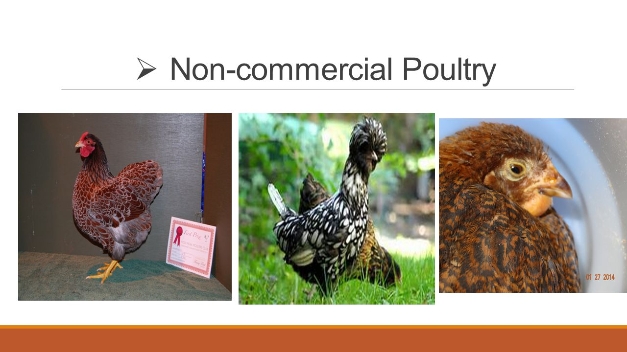  Non-commercial Poultry