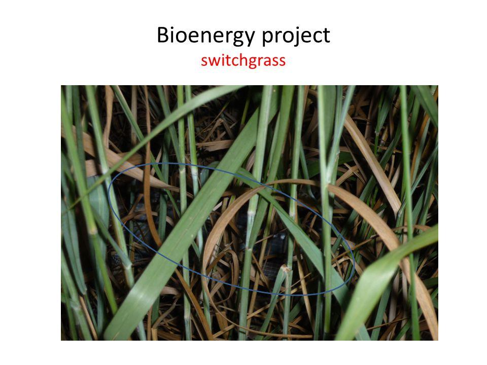 Bioenergy project switchgrass