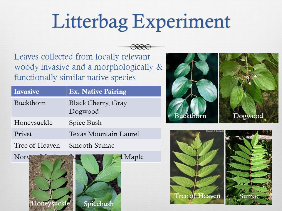 Litterbag ExperimentLitterbag Experiment InvasiveEx. Native Pairing BuckthornBlack Cherry, Gray Dogwood HoneysuckleSpice Bush PrivetTexas Mountain Lau