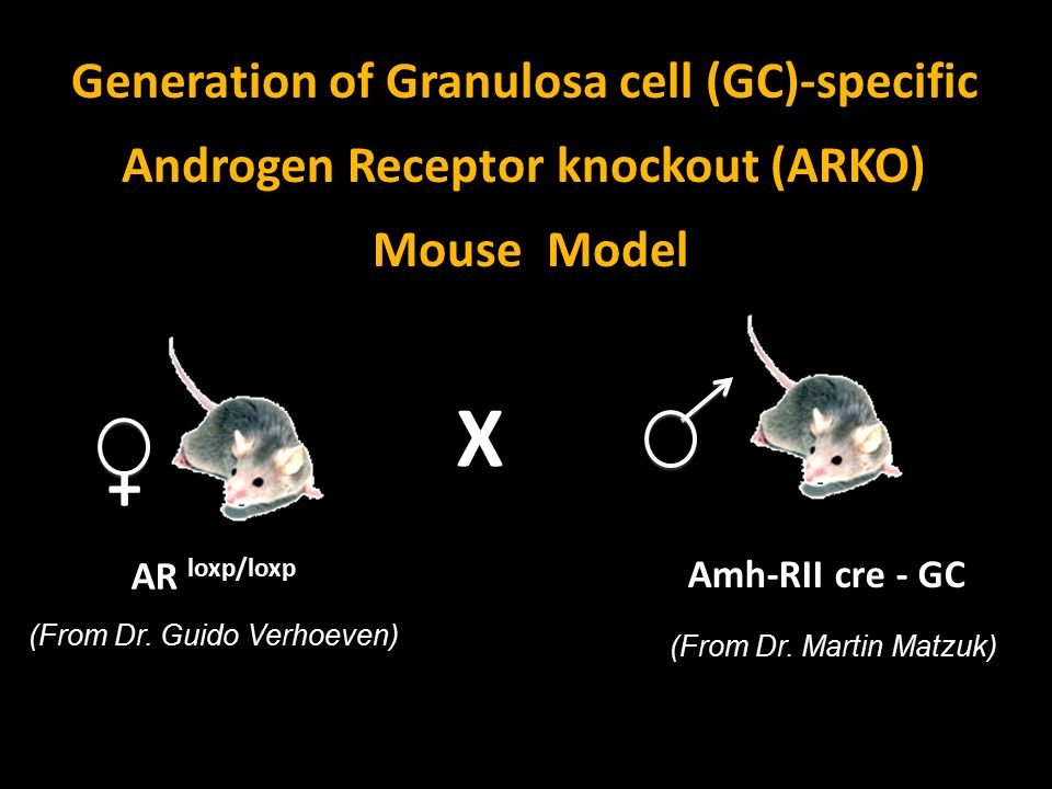 AR loxp/loxp + X Amh-RII cre - GC Generation of Granulosa cell (GC)-specific Androgen Receptor knockout (ARKO) Mouse Model (From Dr. Guido Verhoeven)