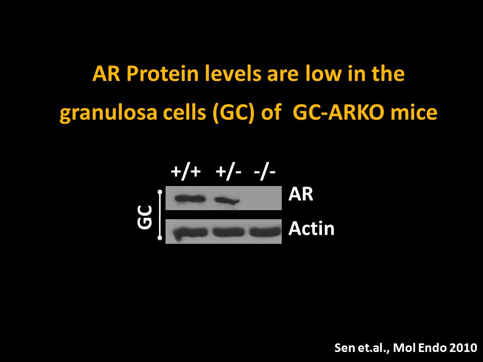 +/++/--/- AR Actin GC AR Protein levels are low in the granulosa cells (GC) of GC-ARKO mice Sen et.al., Mol Endo 2010