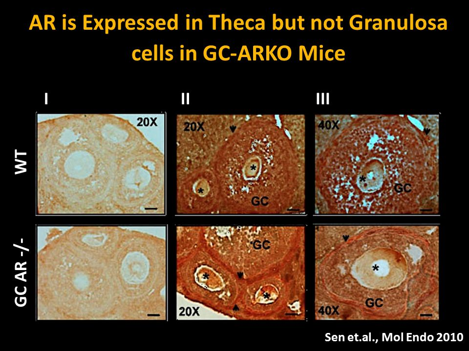 WT GC AR -/- GC 40X GC * * * * * * 40X 20X IIIIII AR is Expressed in Theca but not Granulosa cells in GC-ARKO Mice