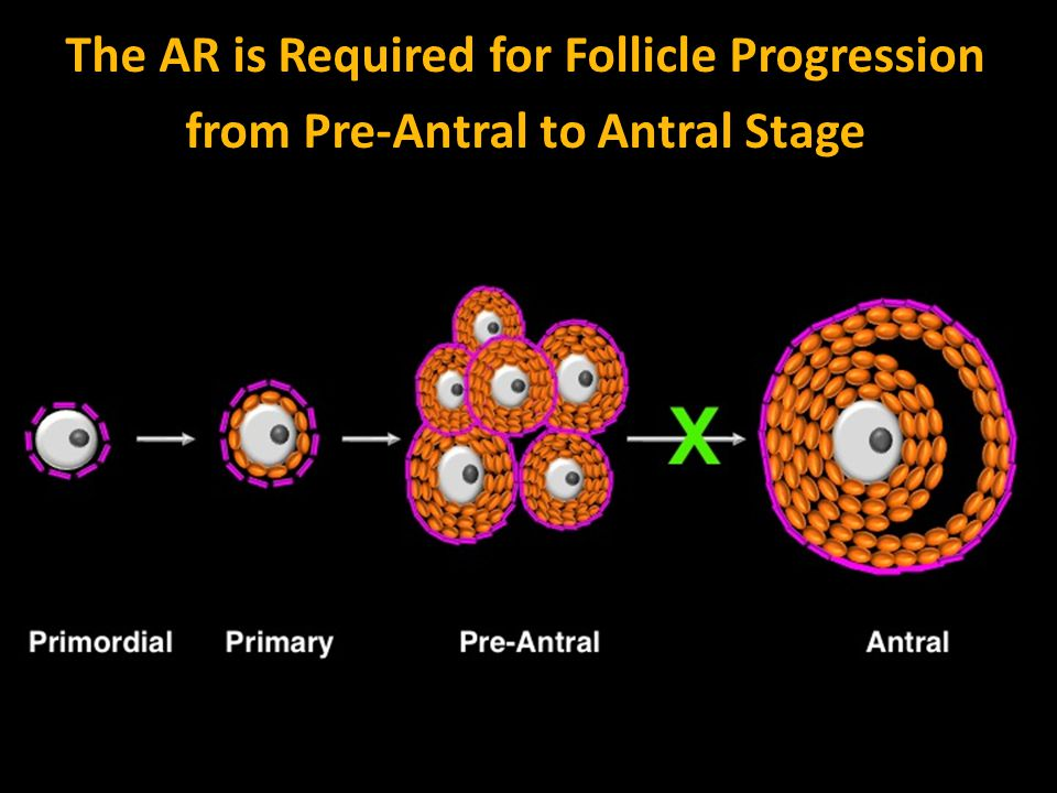 The AR is Required for Follicle Progression from Pre-Antral to Antral Stage