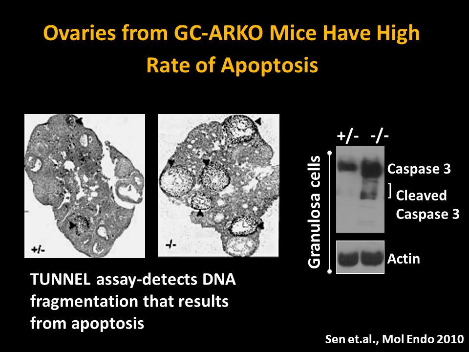 Supplemental Fig 1 A Ovaries from GC-ARKO Mice Have High Rate of Apoptosis Sen et.al., Mol Endo 2010 TUNNEL assay-detects DNA fragmentation that resul