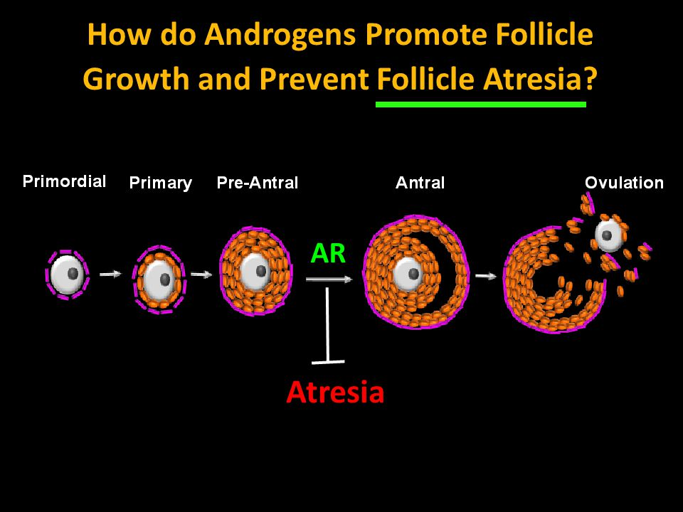 How do Androgens Promote Follicle Growth and Prevent Follicle Atresia? Atresia AR
