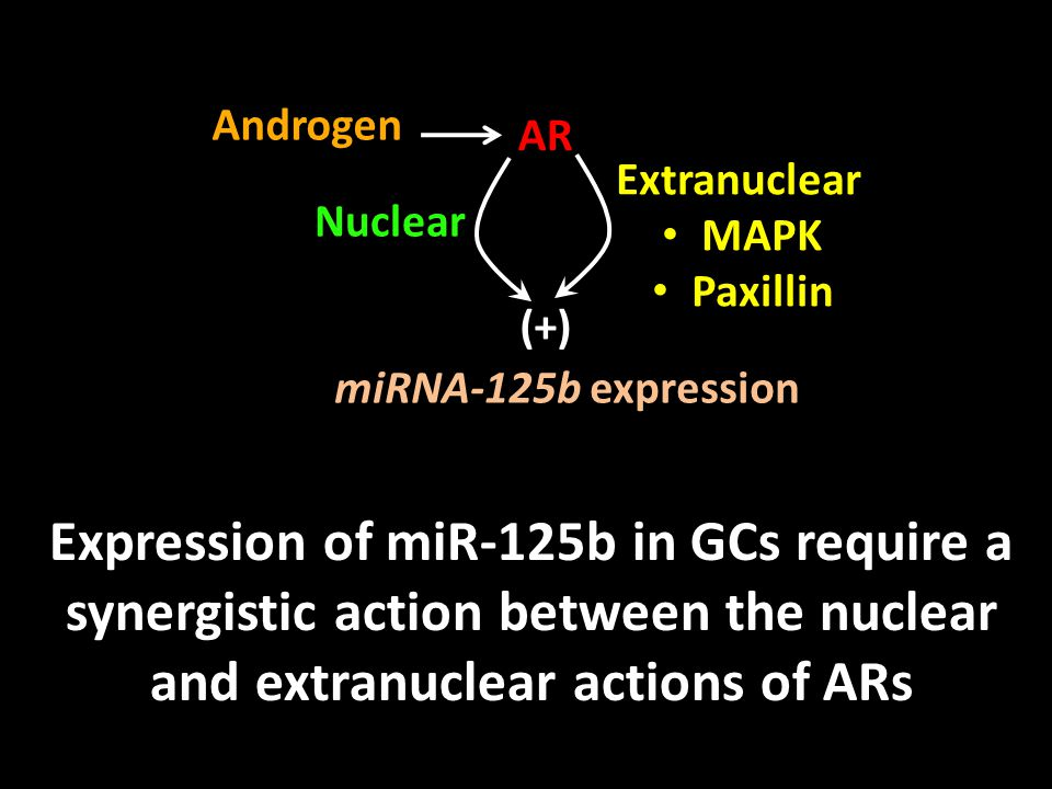 Expression of miR-125b in GCs require a synergistic action between the nuclear and extranuclear actions of ARs Androgen AR Extranuclear MAPK Paxillin