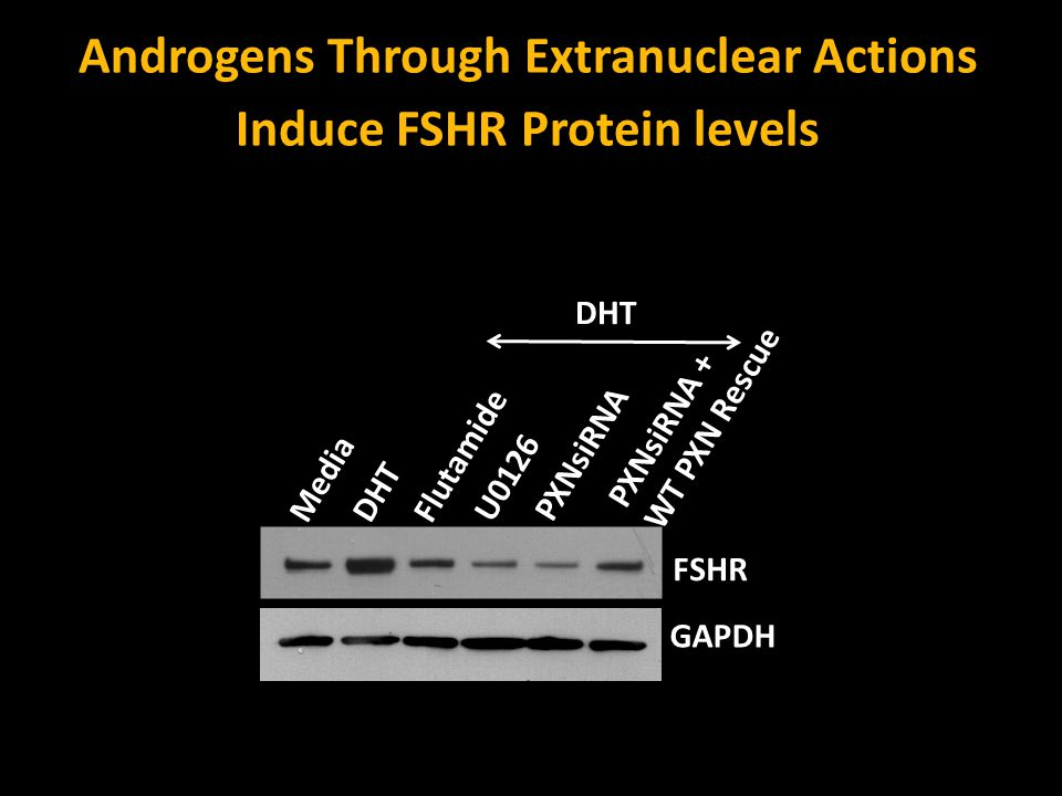 Media DHT Flutamide U0126 PXNsiRNA DHT PXNsiRNA + WT PXN Rescue Androgens Through Extranuclear Actions Induce FSHR Protein levels FSHR GAPDH