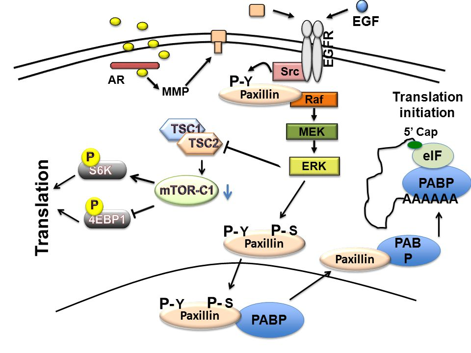 PABP AAAAAA eIF 5' Cap PABP Src EGFR AR MMP EGF Raf MEK ERK Paxillin P- Y Paxillin P- S Y Paxillin P- S Y PAB P Paxillin Translation initiation