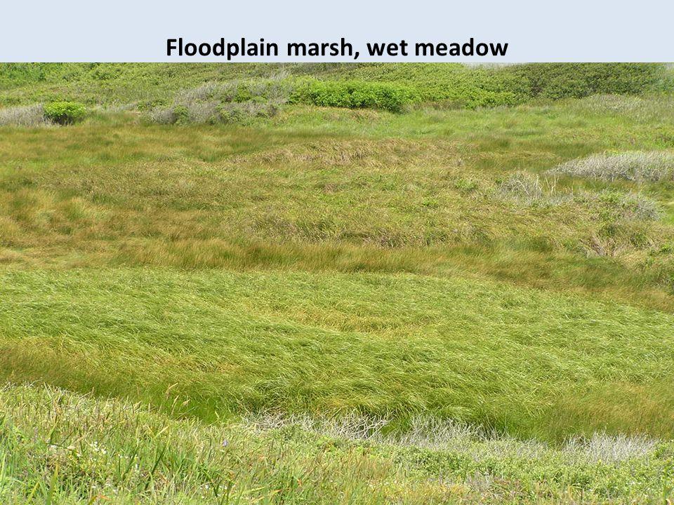 Floodplain marsh, wet meadow (Cyperaceae spp. dominance)