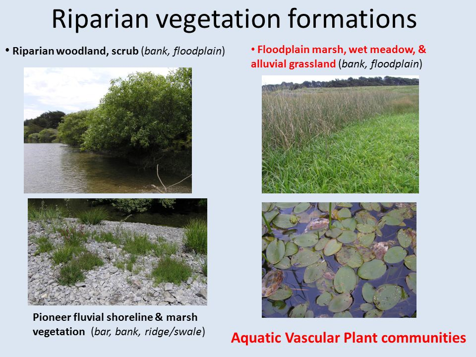 Riparian vegetation formations RIPARIAN WOODLAND, SCRUB Most studied phase of riparian vegetation; most emphasis in restoration Mature monitoring methodology example: UC Extension Lennox et al.