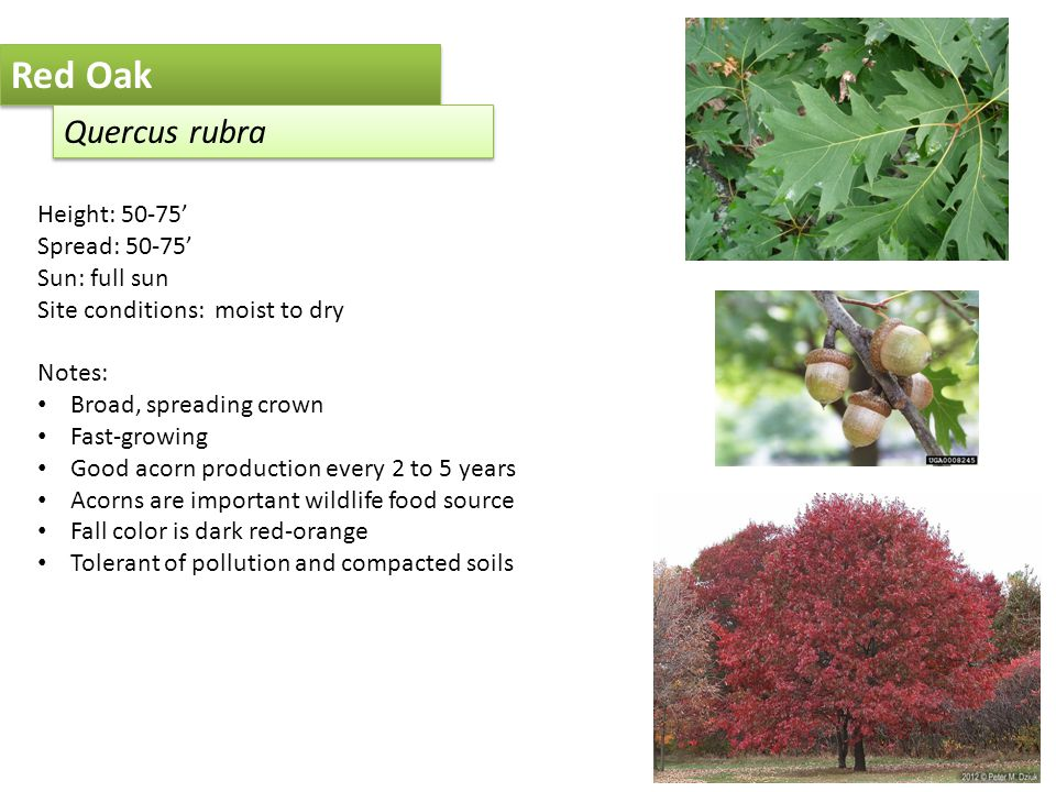 Red Oak Quercus rubra Height: 50-75' Spread: 50-75' Sun: full sun Site conditions: moist to dry Notes: Broad, spreading crown Fast-growing Good acorn production every 2 to 5 years Acorns are important wildlife food source Fall color is dark red-orange Tolerant of pollution and compacted soils