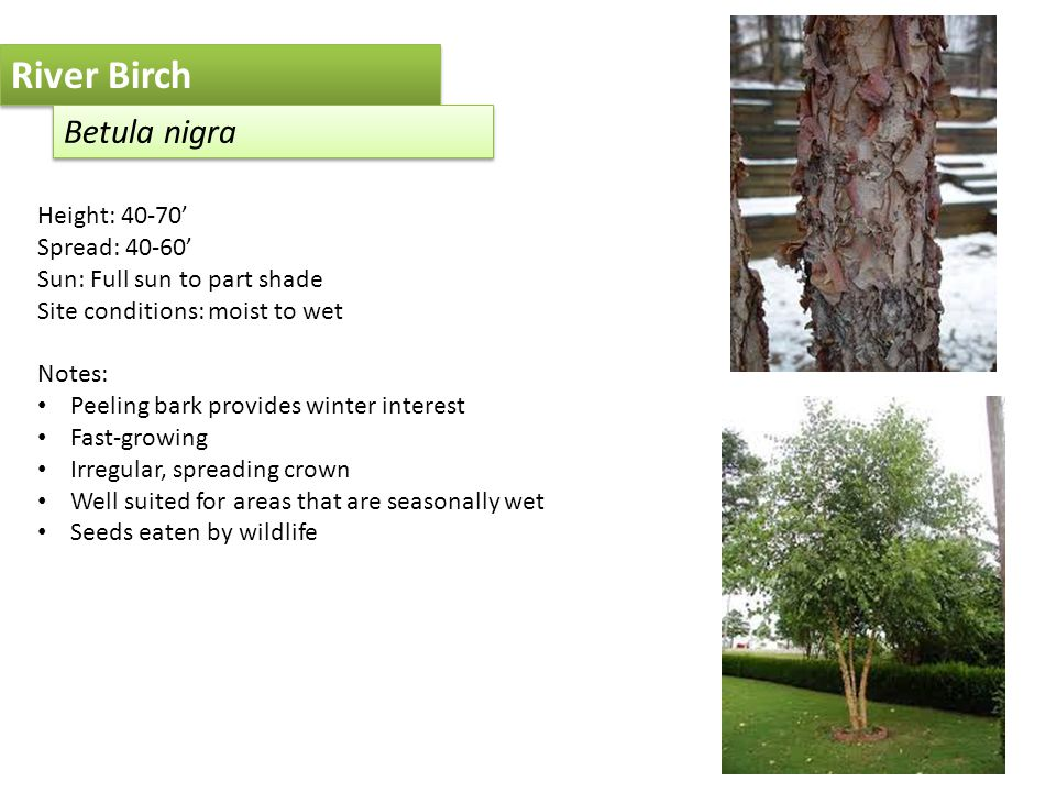 River Birch Betula nigra Height: 40-70' Spread: 40-60' Sun: Full sun to part shade Site conditions: moist to wet Notes: Peeling bark provides winter interest Fast-growing Irregular, spreading crown Well suited for areas that are seasonally wet Seeds eaten by wildlife