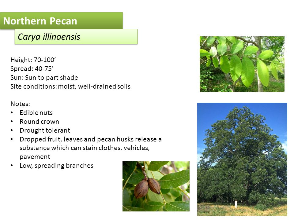 Northern Pecan Carya illinoensis Height: 70-100' Spread: 40-75' Sun: Sun to part shade Site conditions: moist, well-drained soils Notes: Edible nuts Round crown Drought tolerant Dropped fruit, leaves and pecan husks release a substance which can stain clothes, vehicles, pavement Low, spreading branches