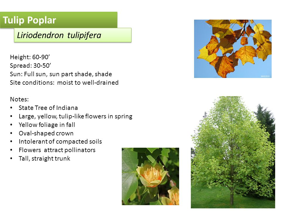 Tulip Poplar Liriodendron tulipifera Height: 60-90' Spread: 30-50' Sun: Full sun, sun part shade, shade Site conditions: moist to well-drained Notes: State Tree of Indiana Large, yellow, tulip-like flowers in spring Yellow foliage in fall Oval-shaped crown Intolerant of compacted soils Flowers attract pollinators Tall, straight trunk