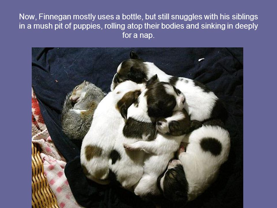 Finnegan and his new litter mates, five Papillion puppies, get along as if they were meant to.