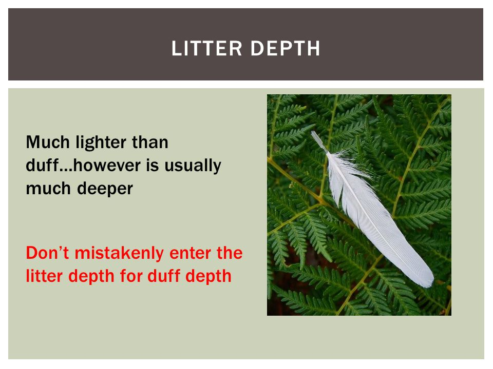 LITTER DEPTH Much lighter than duff…however is usually much deeper Don't mistakenly enter the litter depth for duff depth