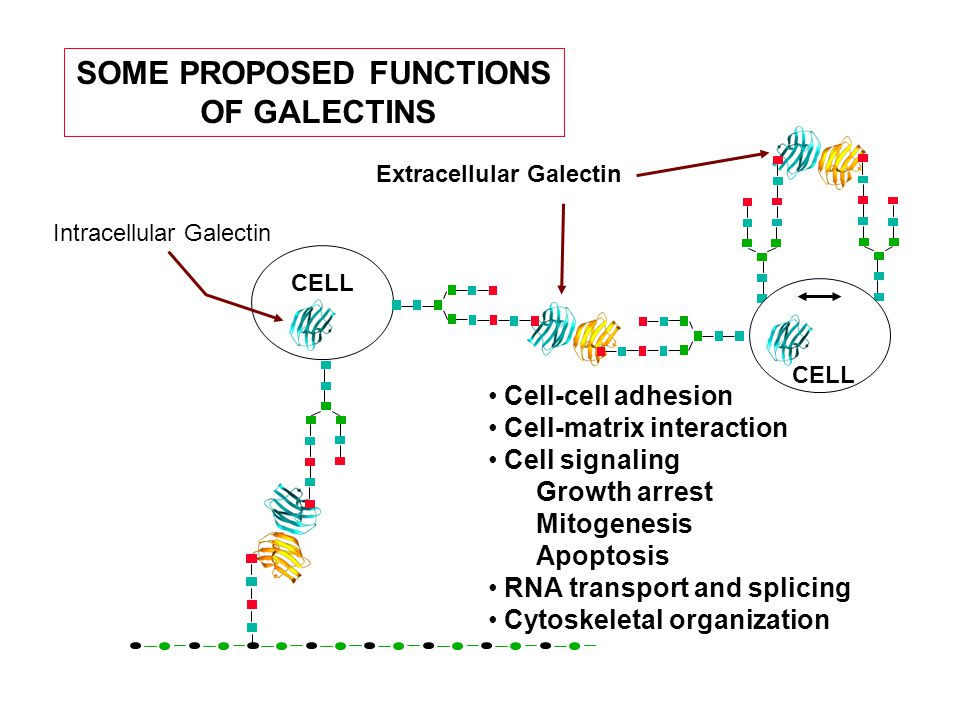 SOME PROPOSED FUNCTIONS OF GALECTINS Extracellular Galectin CELL Cell-cell adhesion Cell-matrix interaction Cell signaling Growth arrest Mitogenesis Apoptosis RNA transport and splicing Cytoskeletal organization CELL Intracellular Galectin