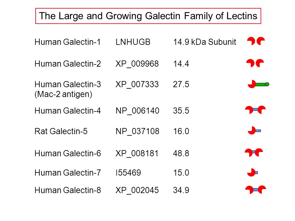 Human Galectin-1LNHUGB14.9 kDa Subunit Human Galectin-2XP_00996814.4 Human Galectin-3 (Mac-2 antigen) XP_00733327.5 Human Galectin-4NP_00614035.5 Rat Galectin-5NP_03710816.0 Human Galectin-6XP_00818148.8 The Large and Growing Galectin Family of Lectins Human Galectin-7I5546915.0 Human Galectin-8XP_00204534.9