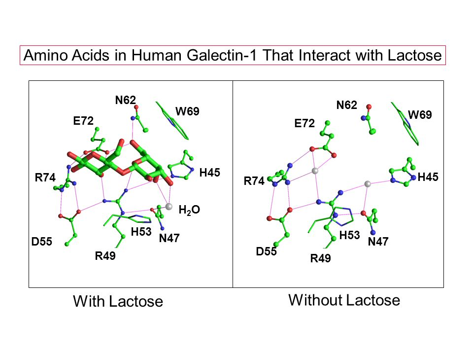 W69 H45 H2OH2O N47 R49 H53 D55 R74 E72 N62 Amino Acids in Human Galectin-1 That Interact with Lactose With Lactose Without Lactose W69 H45 N47 R49 H53 D55 R74 E72 N62