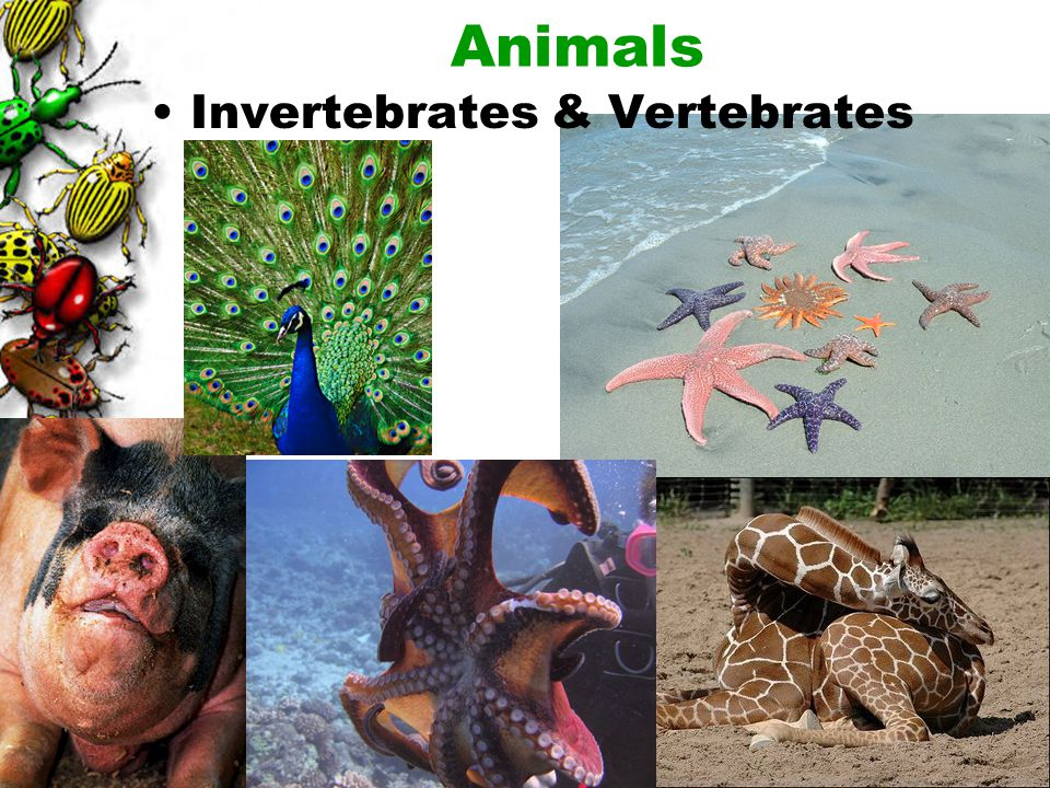 41 Heterotrophs. Nearly all are motile. Animal cells do not have cell walls. Animals: Multicellular consumers