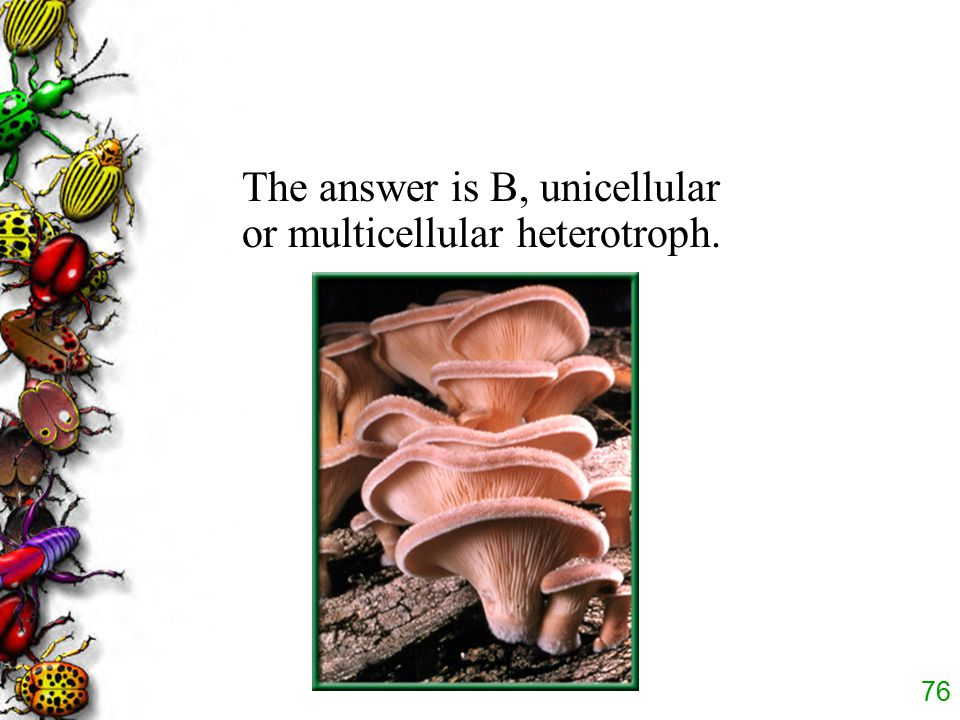 75 Which of the following describes a fungus? D. heterotrophic prokaryote C. unicellular autotroph B. unicellular or multicellular heterotroph A. auto